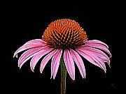 Cone Originals - Cone Flower - Rudbeckia by Sue  Brehant