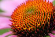 Yellow Prairie Photos - Cone Flower Closeup by Larry Ricker