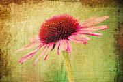 Flu Framed Prints - Cone Flower Framed Print by Darren Fisher