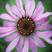 Cone Flower Prints - Coneflower Print by Neil Overy