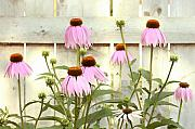 Steve Augustin Metal Prints - Coneflower Patch Metal Print by Steve Augustin