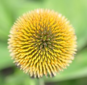 Coneflower Prints - Coneflower Print by Photo by Ted Bobosh