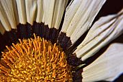 Coneflower Prints - Coneflower Print by Steven Wilson