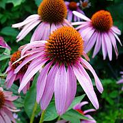 Coneflowers Prints - Coneflowers 3 Print by Nancy Mueller