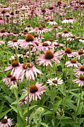 Coneflowers Photos - Coneflowers (echinacea Purpurea) by Adrian Thomas
