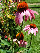Coneflowers Prints - Coneflowers in Garden Print by Susan Savad