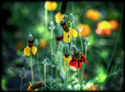Coneflowers Photos - Coneflowers by Saija  Lehtonen
