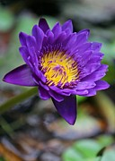 Hawaiian Pond Prints - Confident Purple Water Lily Print by Sabrina L Ryan