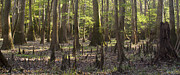 Cypress Knees Photos - Congaree National Park  by Dustin K Ryan