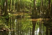 Bruce Flashnick - Congaree Swamp 1