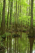 Bruce Flashnick - Congaree Swamp Vertical