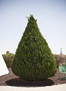 Sculpted Tree Photos - Conical Shaped Evergreen Tree by Paul Edmondson