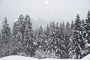 Snow-covered Landscape Photo Prints - Coniferous Forest In Winter, Alps Print by Konrad Wothe