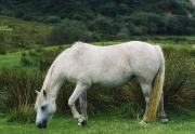 Connemara Photos - Connemara Pony by The Irish Image Collection