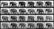 Photogravure Photo Framed Prints - Consecutive Images Of An Elephant Framed Print by Everett