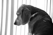 Dogs Photo Metal Prints - Contemplative Beagle Metal Print by Jennifer Lyon