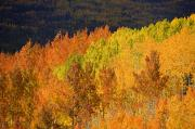 Steamboat Springs Western Framed Prints - Contrasting Aspens Framed Print by Ron Dahlquist - Printscapes
