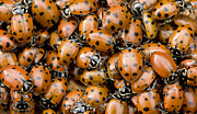 Animals And Insects Photos - Convergent Lady Beetles Gathering by Sebastian Kennerknecht