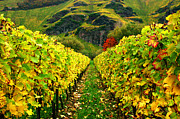 Vines Originals - Converging Vines-Mosel by John Galbo