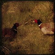 Pheasant Metal Prints - Conversations Metal Print by Angel  Tarantella