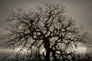 Winter Trees Photos - Convoluted Oak by Albert Seger