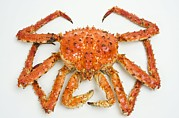 Red Claws Prints - Cooked Red King Crab Print by David Nunuk