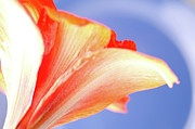 Halo Framed Prints - COOL AMARYLLIS red amaryllis on a cool halo background Framed Print by Andy Smy
