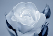 Rose Blooms Prints - Cool Beauty Print by Terence Davis