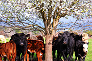 Kelly Photo Prints - Cool Cows Print by Kelly Reber