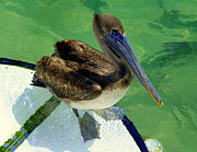 Bows Photos - Cool Footed Pelican by Karen Wiles