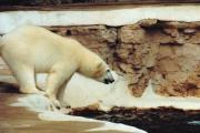 Polar Bears Prints - Cooling Off Print by Jan Amiss Photography