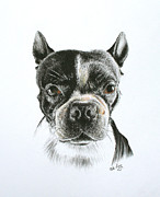Boxer Drawings Framed Prints - Cooper Framed Print by Mike Ivey