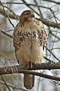 Cooper's Hawk 1 Print by Joe Faherty