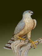 Realistic Mixed Media Originals - Coopers Hawk by David Tabor