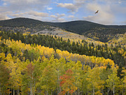 Quaking Aspen Posters - Coopers Hawk Flying Over Quaking Aspen Poster by Tim Fitzharris