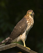 Coopers Photos - Coopers Hawk  by Frank Winters