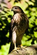 Coopers Photos - Coopers Hawk by James Marvin Phelps