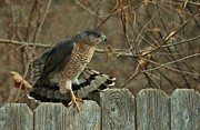Coopers Photos - Coopers Hawk by Joy DiNardo Bradley         DiNardo Designs