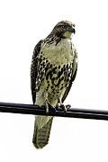 Metamora Metal Prints - Coopers Hawk Metal Print by Les Lenchner