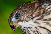Coopers Photos - Coopers Hawk Portrait by Paul Marto