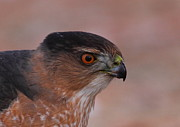 Coopers Photos - Coopers Hawk Profile by Bruce J Robinson
