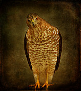 Textured Bird Posters - Coopers Hawk Poster by Sandy Keeton