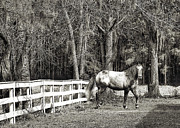 Equine Photo Posters - Coosaw - Outside the Fence Black and Wite Poster by Scott Hansen