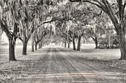 Fog Photos - Coosaw Plantation Avenue of Oaks by Scott Hansen