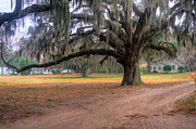 Live Art Prints - Coosaw Plantation Live Oak Print by Scott Hansen
