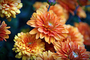 Autumn Photographs Photos - Copper Mums by Cricket Hackmann