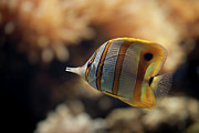 Swimming Fish Framed Prints - Copperband Butterflyfish Framed Print by Stavros Markopoulos
