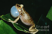 Eleutherodactylus Photos - Coqui Croaking by Dante Fenolio
