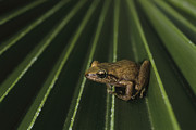 Eleutherodactylus Photos - Coqui Frogs Invaded The Hawaiian by Melissa Farlow