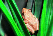 Coqui Photos - Coqui in Bromeliad by Thomas R Fletcher
